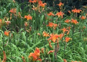 Tiger Lily Tips The Danger Of Tiger Lilies Garden Kitch With